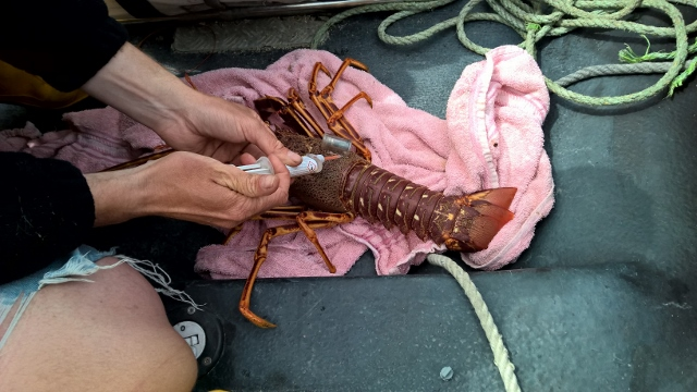 Attaching the DST 'backpack' onto the Spiny Lobster